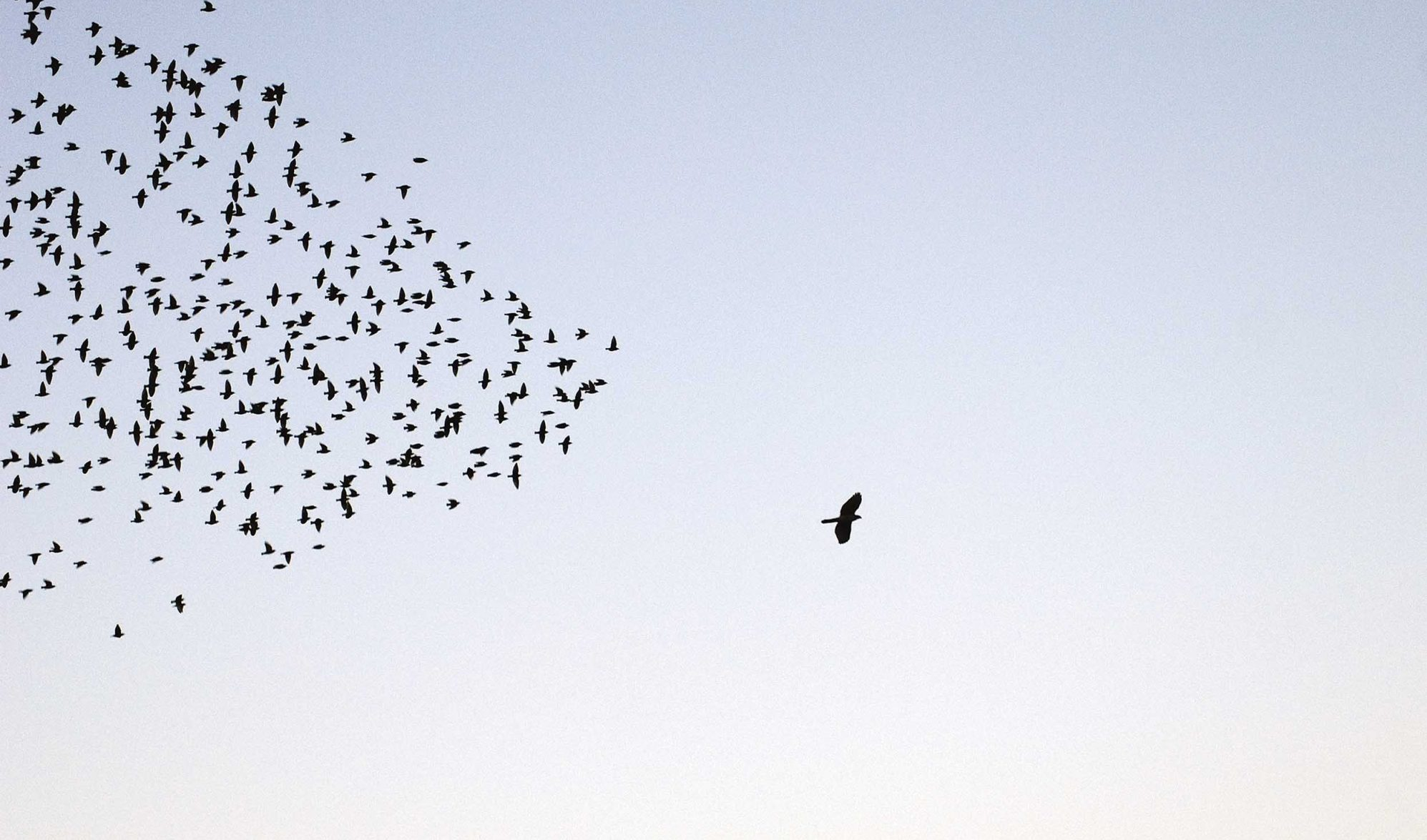 Lone bird leading a flock